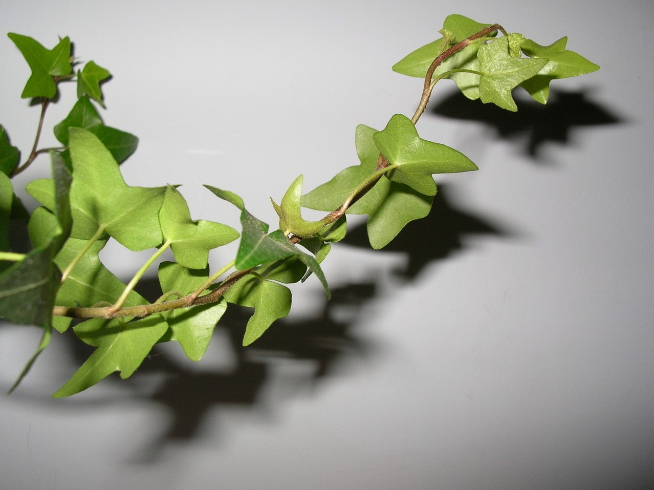 Bluszcz – najpopularniejsza roślina doniczkowa